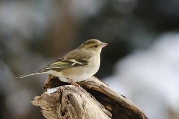 Buchfink an der Winterfütterung