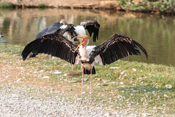 marabou stork spread wings
