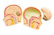 Model of the brain in the skull.