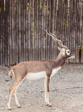 black buck walking