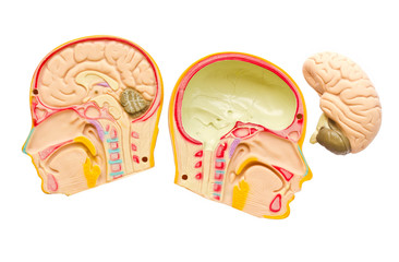 Model of the brain in the skull.