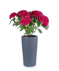 Hortensie in Polyrattan Blumentopf