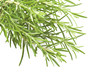 Fresh leaves of rosemary close up on white