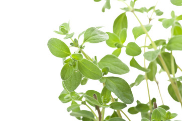 Fresh leaves of oregano close up on white