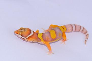 juvenile Bell albino leopard gecko (Eublepharis macularius)