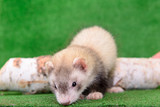young rodent ferret poster