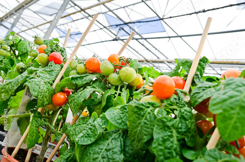 Tomato plants in greenhouse or gardening centre