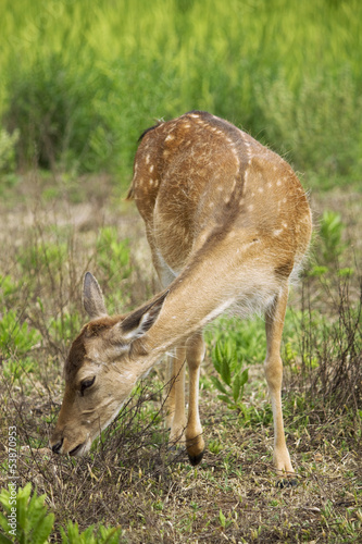 Fawn in the meadow