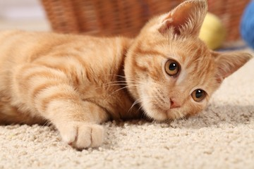 Little cat playing on the carpet.