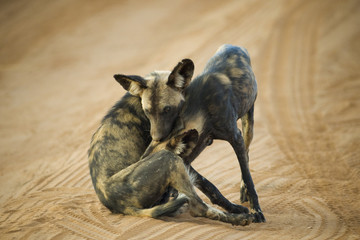 Two African Wild Dogs playing together