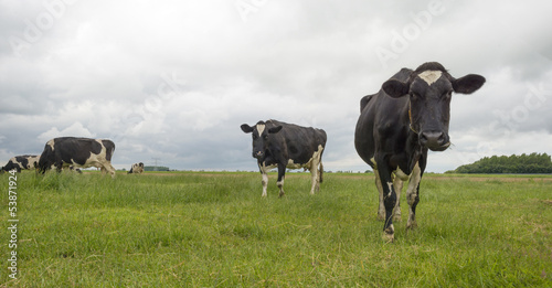 Cows grazing in a meadow in summer