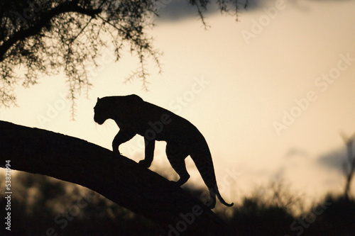 Leopard walking on a tree at sunset.