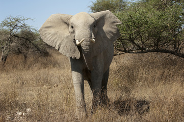 Elephant up close threatening