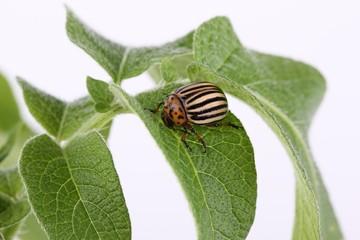 Colorado potato beetle on a leaf