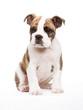 englische Bulldogge sitzend