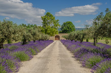 Path with lavender blooming