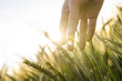 Farmer hand touching wheat ears - 53874701