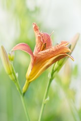 Gelbrote Taglilie / yellow daylily