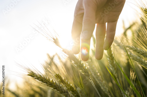 Farmer hand touching wheat ears
