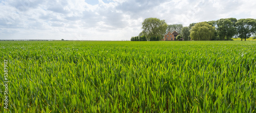 Ripening wheat in a rural landscape