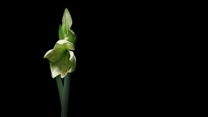White Amaryllis Flower Time-lapse