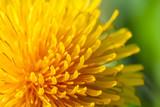Fototapety common dandelion