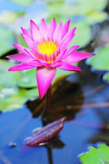 lotus in the water - pink flower