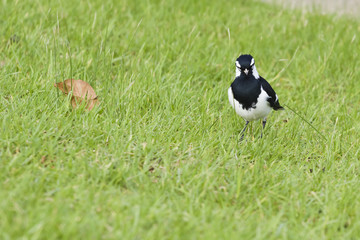 A magpie watching at us