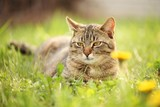Cat resting in spring grass. - 53887391