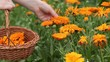 Hand picking pot marigold flowers