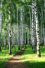 Evening pathway in the summer birch grove