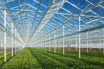 Geranium plants in a greenhouse