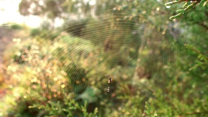Orb-weaver spider at the spiderweb.