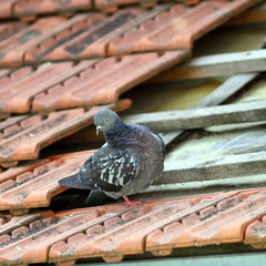 pigeon +on a broken roof