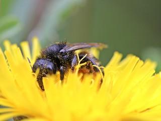 Portrait einer Biene (Osmia spec.) auf Habichtskraut