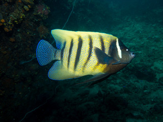 Six Banded Angelfish - Pomacanthus sexstriatus