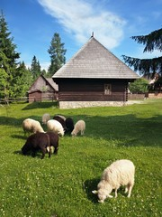 Sheep near folk house in Pribylina