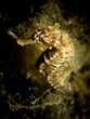 Seahorse - Hippocampus taeniopterus