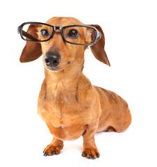Dachshund dog with glasses