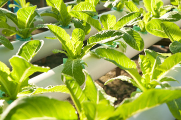 Hydro-phonic Plantation, Organic vegetables.
