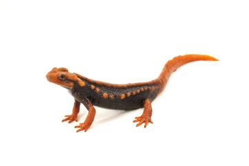 Salamander (Tylototriton verrucosus)