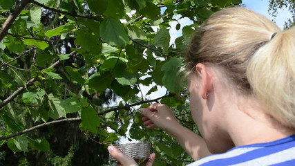 female woman pick gather ripe hazel nutwood nuts nut-tree branch