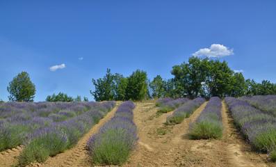 Lavender Field-6