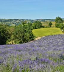 Lavender Field-11