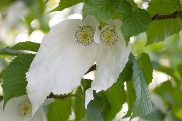 Davidia involucrata or Handkerchief tree