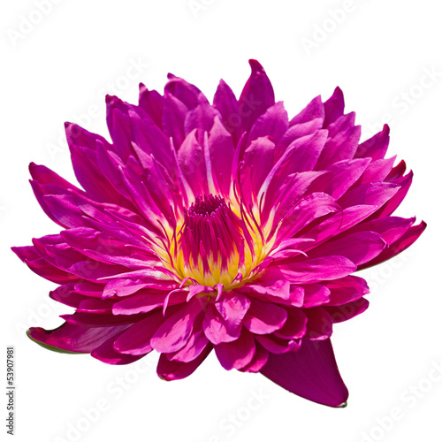 Waterlily flower head