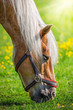 Grazing horse with yellow flowers