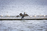 Black cormorant in the platform