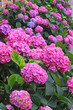 flower bed full of purple hydrangea flowers and pink and blue