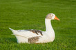 domestic goose resting on grass
